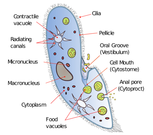 Paramecium_diagram.svg.png